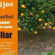 RECOGE NARANJAS DIRECTAMENTE DEL ÁRBOL EN HUERTOS DEL TÚRIA