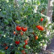 Aprendemos a preparar Semilleros de tomates cherry en Huertos del Túria.