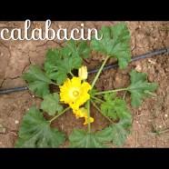 El Calabacín, sus propiedades y su cultivo en Huertos del Túria