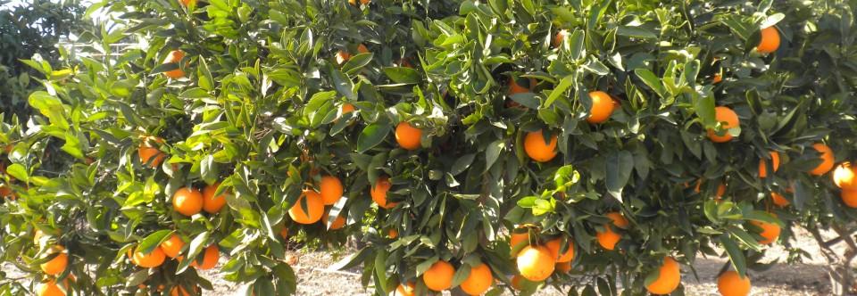 TU NARANJO ONLINE: naranjas de tu propio naranjo