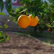 Curiosidades sobre nuestras Naranjas: el nombre de su variedad Washington Navel