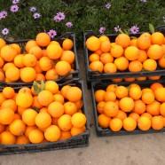 Desde Juventut-Valencia.es: Aprende a recolectar naranjas
