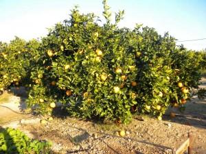 Naranjos en Huertos del Túria