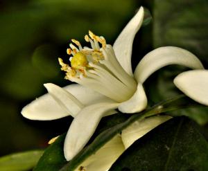 La flor de azahar se puede observar en pleno esplendor entre abril y principios de mayo