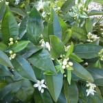 Naranjo Apadrinado con flores de Azahar