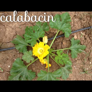 Calabacin en flor, huerto nº 6