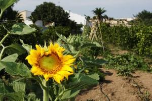 Girasoles en Huertos del Túria