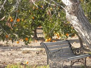 Huertos del Túria: paseo entre naranjos
