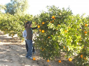 Recogiendo Naranjas por familias apadrinadoras