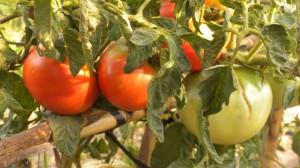 Tomates, verano en Huertos del Túria
