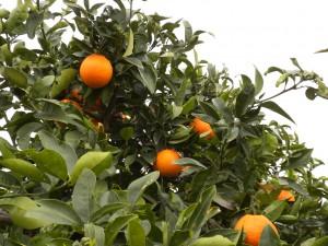 Naranjas de Huertos del Túria