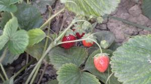 Fresas en Huertos del Túria